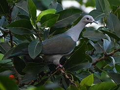 Green Imperial Pigeon from Gelephu in Bhutan, seen during our birding tour to the Himalayas