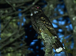 Grey Nightjar seen on our Bhutan birding tour during April