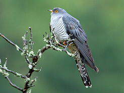 Himalayan Cuckoo previously known as Oriental Hawk Cuckoo seen on our Bhutan birding tour with Langur Eco travels