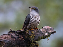 Lesser Cuckoo from Phobjikha valley in Bhutan