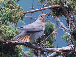 Red-throated Thrush, from our birding trip to Bhutan