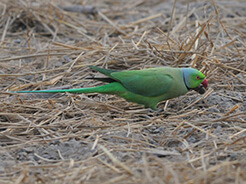 Rose-ringed Parakeet from Gelephu Bhutan, recorded from our birding and flowers tour in Bhutan