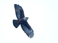 Rufous-bellied Eagle in Bhutan