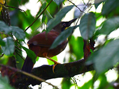 Rufous-vented Laughingthrush perhaps the rarest laughingthrushes of all in Bhutan
