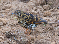 Scaly Thrush, also known as White's Thrush found at Dochula on our Bhutan birding holiday in Bhutan