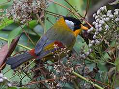 SIlver-eared Mesia from Morong valley in Bhutan