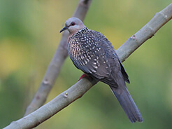 Spotted Dove from Punakha in Bhutan seen on our birding tour to Bhutan