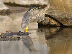 Striated Heron, seen in Bhutan on our bird watching tour to Bhutan with Langur Eco travels