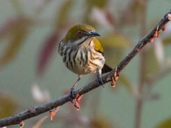 Yellow-vented Flowerpecker from Samdrupjongkhar