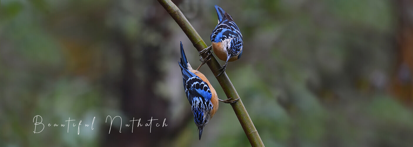 Beautiful nuthatch one of the top attractions from Bhutan birding with Langur Eco Travels