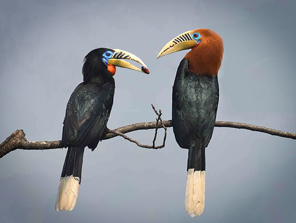 Rufous-necked Hornbill-12 days birding tour in Bhutan